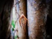 Coorg spider