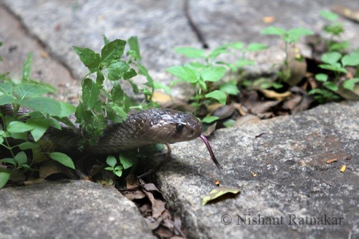 nishant-cobra-01.jpg